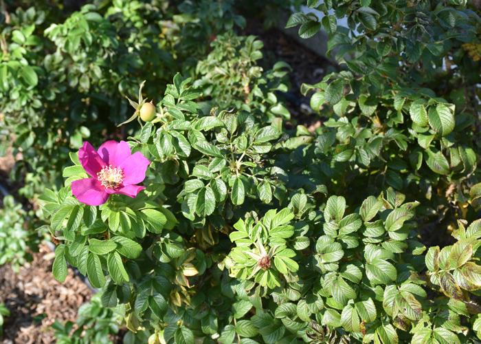 バラの原種ハマナスの木。荒巻バラ公園で撮影
