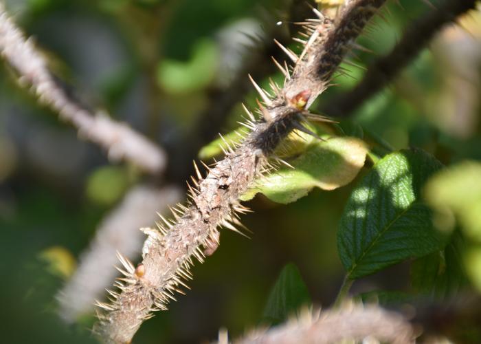 バラの原種ハマナスのトゲ。荒巻バラ公園で撮影