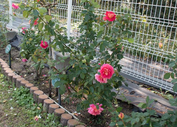 バラ(オータム)の木と花の様子。花博記念公園鶴見緑地で撮影