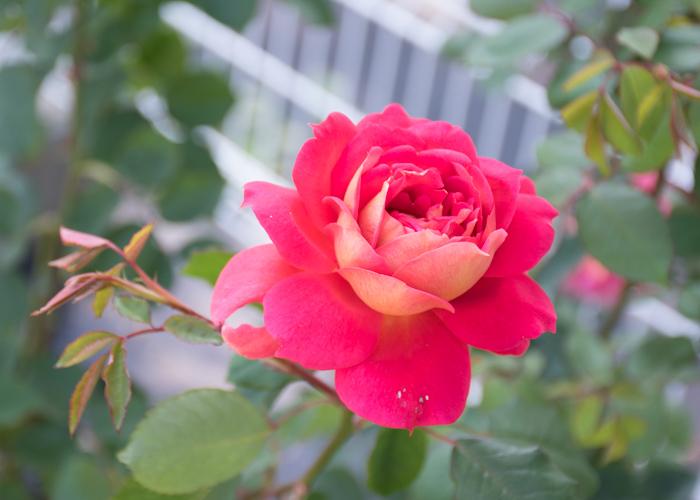 バラの花オータムのアップ。花博記念公園鶴見緑地で撮影