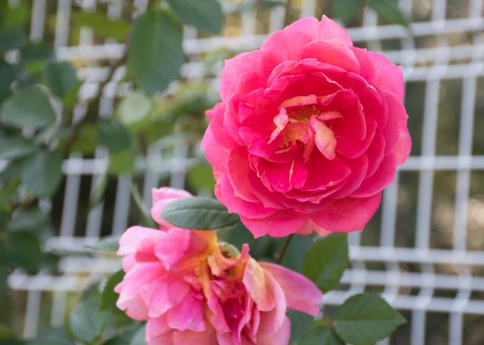 バラ(オータム)の花。花博記念公園鶴見緑地で撮影