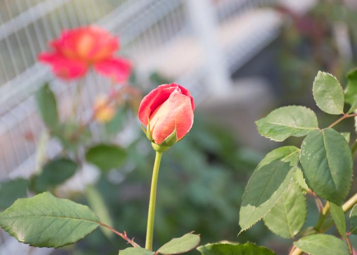 バラの花オータムのつぼみ。花博記念公園鶴見緑地で撮影