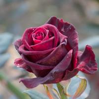 バラ(ブラック・バカラ)の花