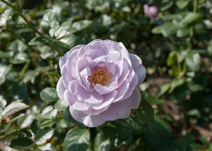 バラ(ブルー・バユー)の花。長居植物園で撮影