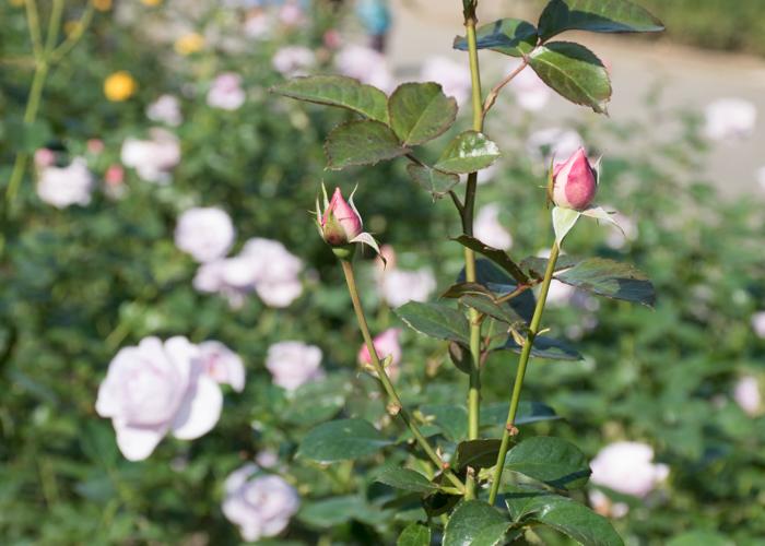 バラ(ブルー・バユー)の花のつぼみ。長居植物園で撮影