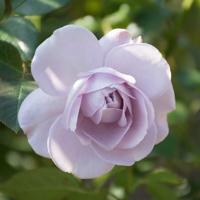 バラ(ブルー・バユー)の花