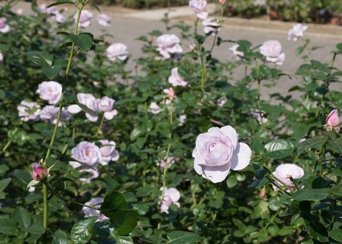 バラ(ブルー・バユー)の満開の様子。長居植物園で撮影