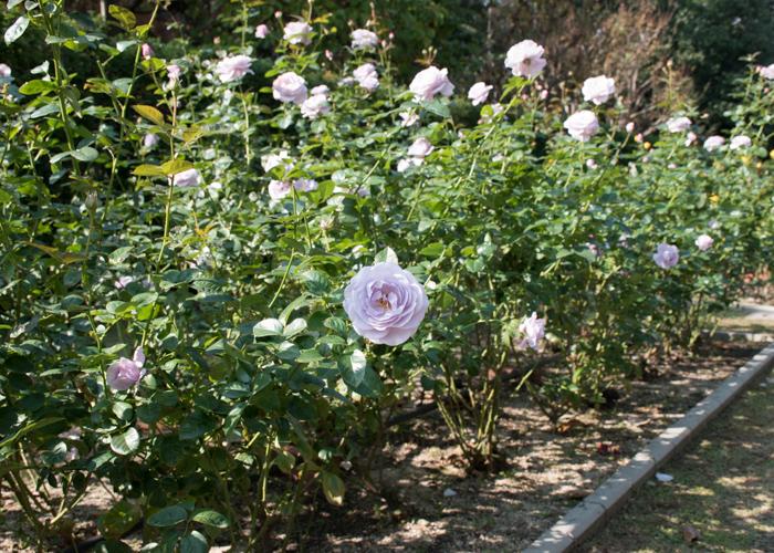 バラ(ブルー・バユー)の木全体。長居植物園で撮影