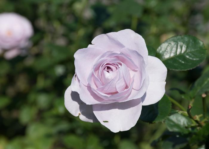 バラ(ブルー・バユー)の花のアップ。長居植物園で撮影