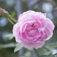 オールドローズ(チャンピオン・オブ・ザ・ワールド)の花