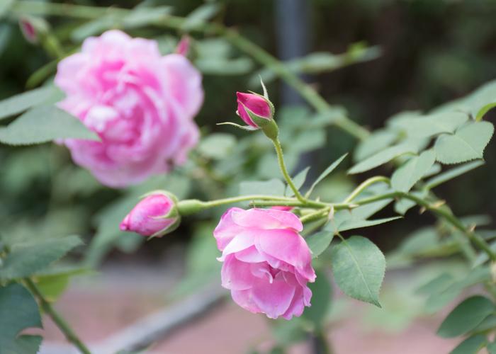 オールドローズ(チャンピオン・オブ・ザ・ワールド)の花とつぼみ。花博記念公園鶴見緑地で撮影