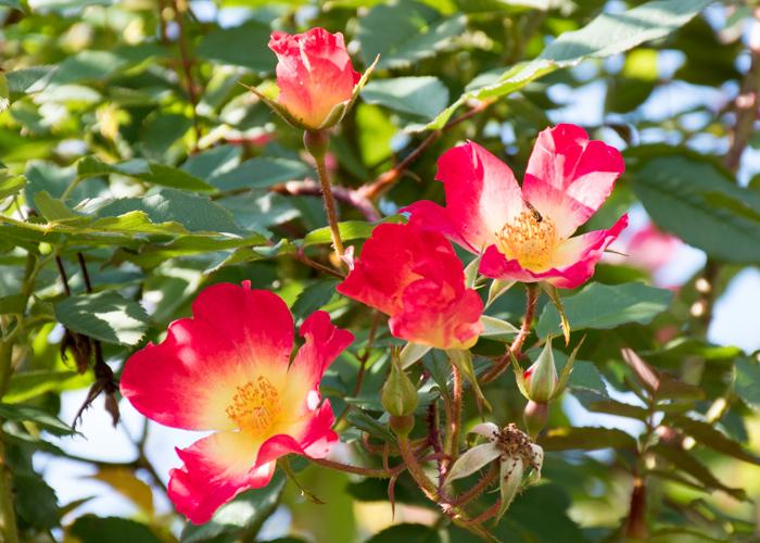 つるバラ(カクテル)の花。鶴見緑地で撮影