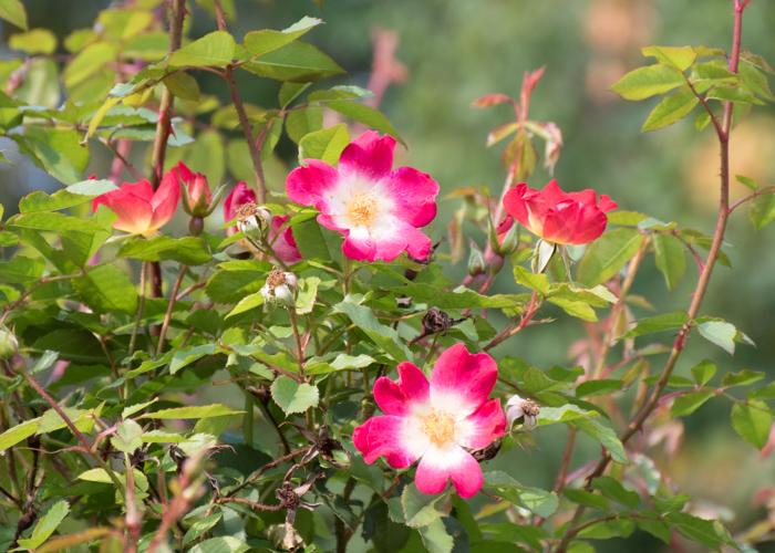 つるバラ(カクテル)の花。花博記念公園鶴見緑地で撮影