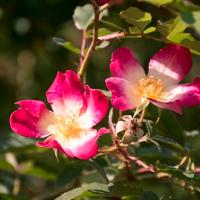 バラ(カクテル)の花