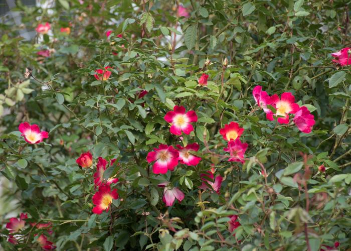 つるバラ(カクテル)の木と花。花博記念公園鶴見緑地で撮影