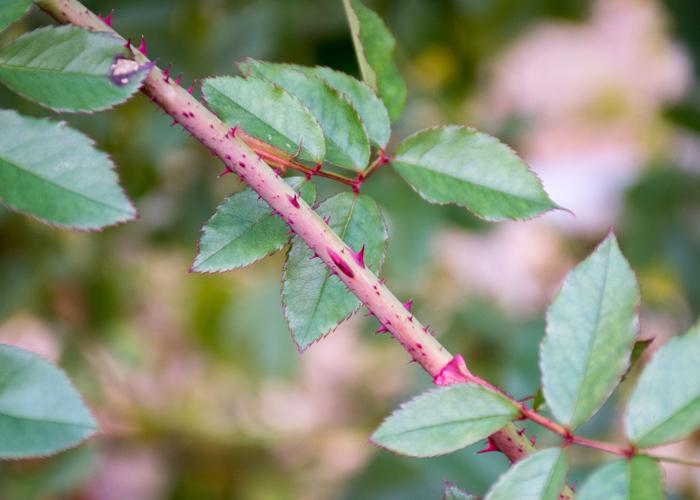 つるバラ(カクテル)の枝とトゲの写真。花博記念公園鶴見緑地で撮影