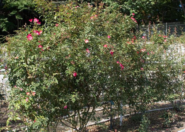 花が咲いているつるバラ(カクテル)の木、全体像。花博記念公園鶴見緑地で撮影