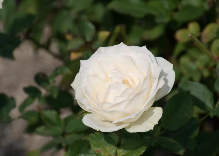 バラ(エーデルワイス)の花。長居公園で撮影