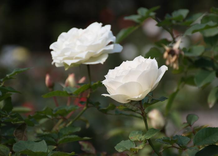 バラ(エーデルワイス)の花の横顔。長居公園で撮影