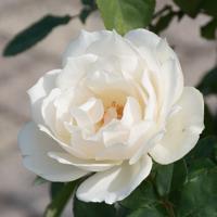 バラ(エーデルワイス)の花