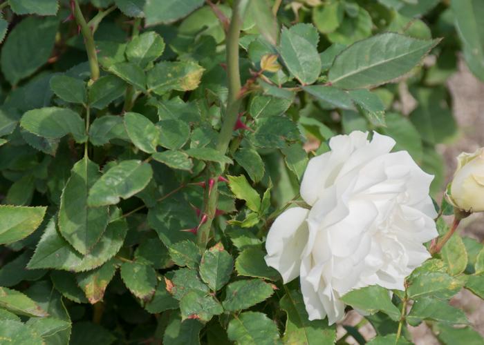 バラ(エーデルワイス)の枝とトゲと花。長居公園で撮影