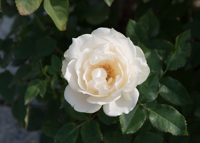 バラ(エーデルワイス)の開ききった花。長居公園で撮影