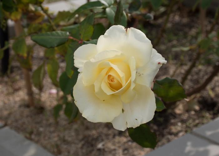 バラ(エリナ)の花の写真。長居公園で撮影