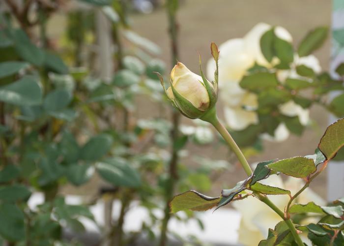 バラ(エリナ)のつぼみの写真。長居公園で撮影