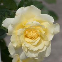 バラ(エリナ)の花