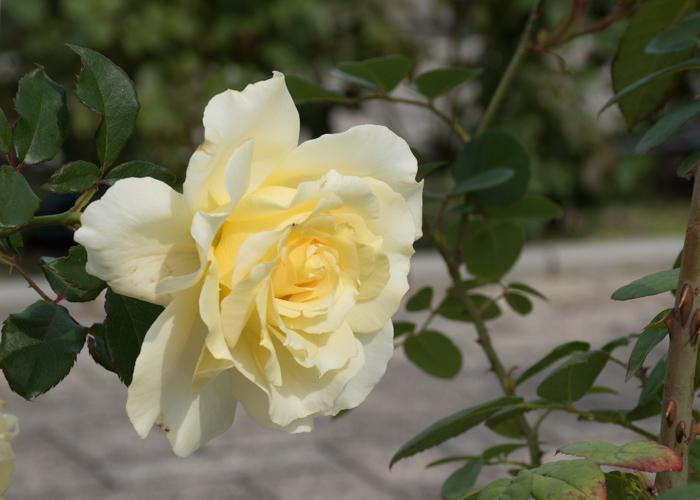 バラ(エリナ)の花の横顔。長居公園で撮影