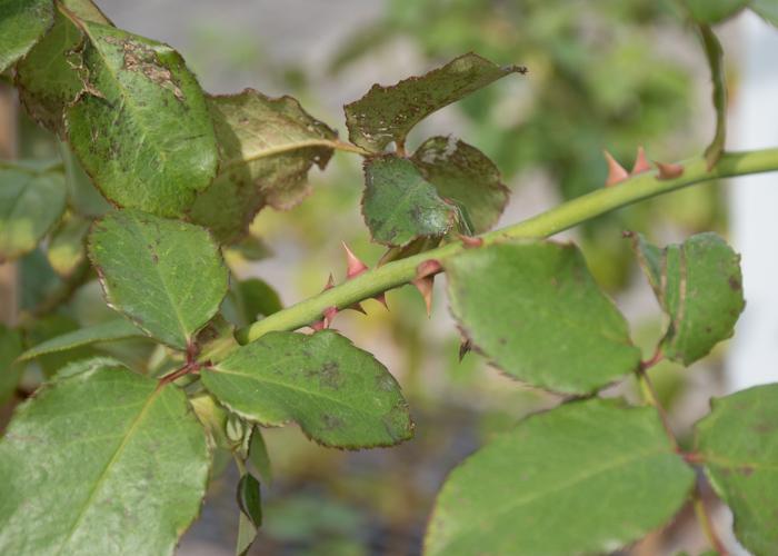 バラ(エリナ)の枝と葉とトゲの写真。長居公園で撮影