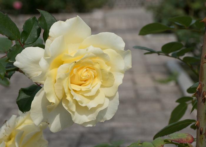 バラ(エリナ)の花。長居公園で撮影