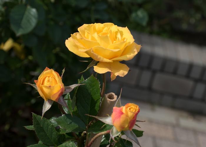 バラ(ゴールドマリー'84)の花。長居植物園で撮影