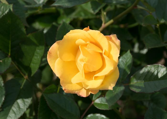 バラ(ゴールドマリー'84)の花のアップ。長居植物園で撮影