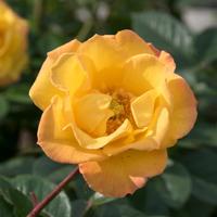 バラ(ゴールドマリー'84)の花
