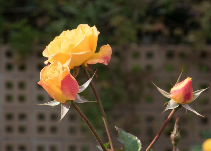 バラ(ゴールドマリー'84)の花の横顔。長居植物園で撮影