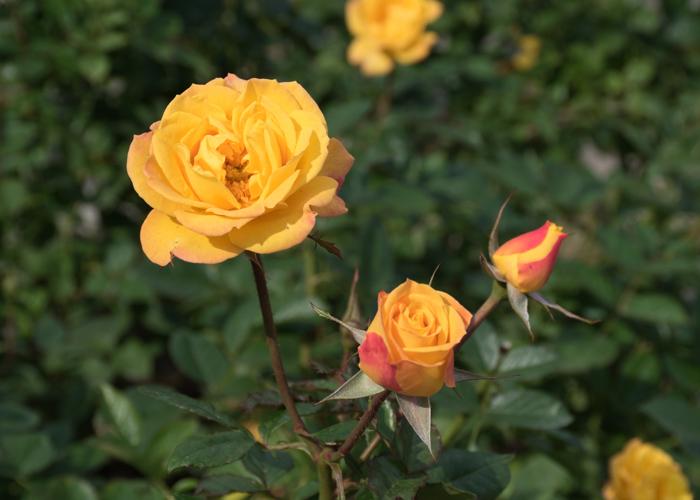 バラ(ゴールドマリー'84)の花とつぼみ。長居植物園で撮影