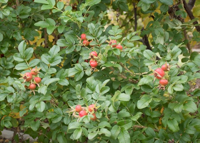 ハマナスの実(ローズヒップ)がなっている木。長居植物園で撮影