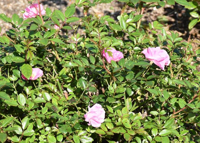 ミニバラ(花冠)の数輪の花。荒巻バラ公園で撮影