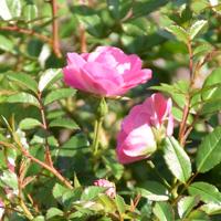 ミニバラ(花冠)の花