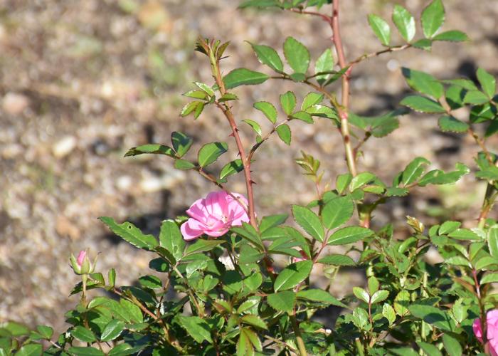 ミニバラ(花冠)の枝と葉とトゲ。荒巻バラ公園で撮影