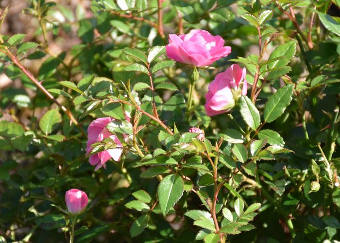 ミニバラ(花冠)の花の横顔。荒巻バラ公園で撮影
