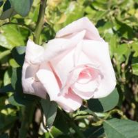 バラ(花嫁)の花