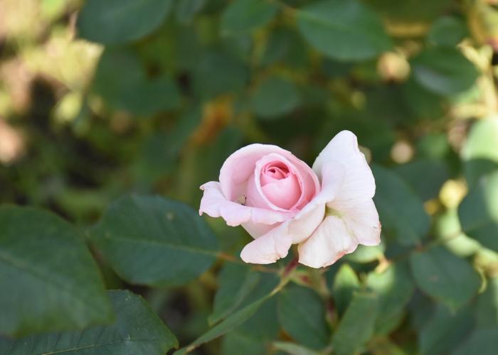 バラ(花嫁)の花。花博記念公園鶴見緑地で撮影