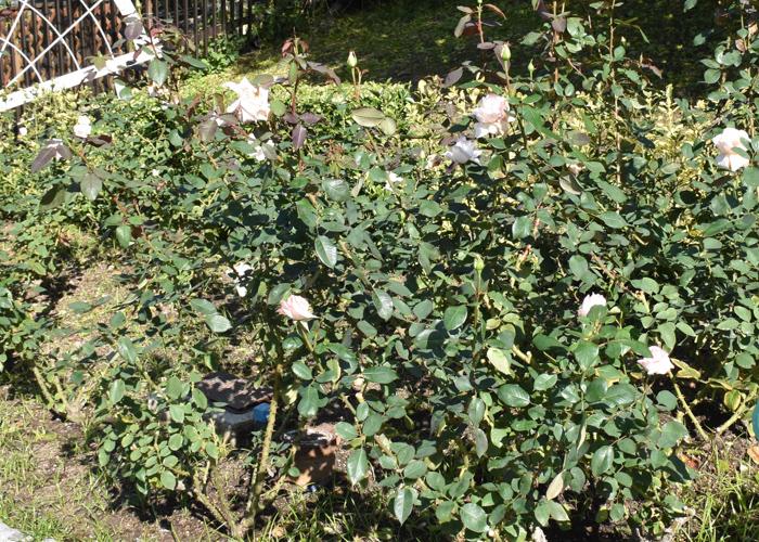バラ(花嫁)の木。花博記念公園鶴見緑地で撮影
