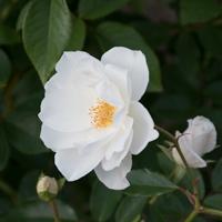 バラ(アイスバーグ/シュネビッチェン)の花