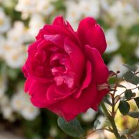 バラ(イングリッド・バーグマン)の花