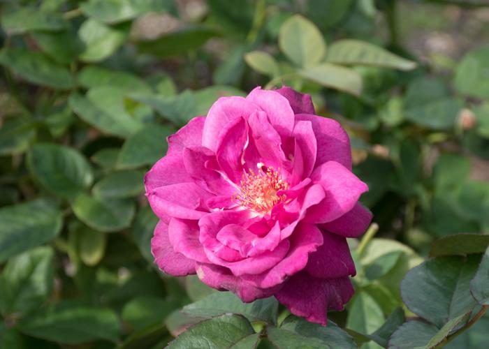 バラ(イントゥリーグ)の開ききった花。長居公園で撮影