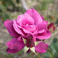 バラ(イントリーグ)の花