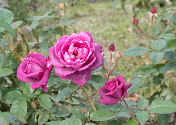 バラ(イントゥリーグ)の花とつぼみ。長居公園で撮影